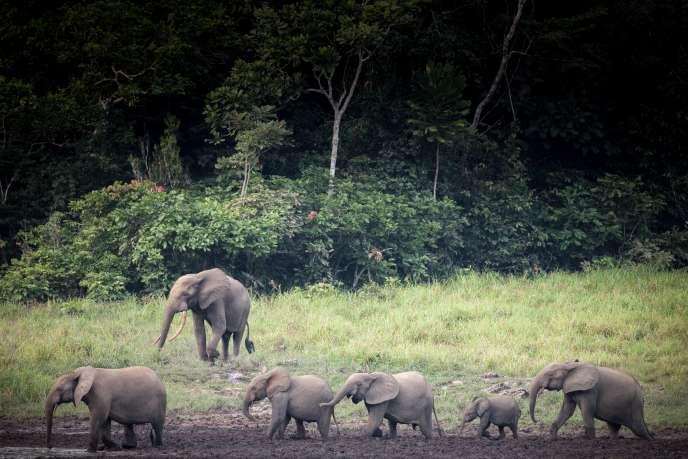 Des éléphants du parc national Ivindo, au Gabon, en mai 2019.