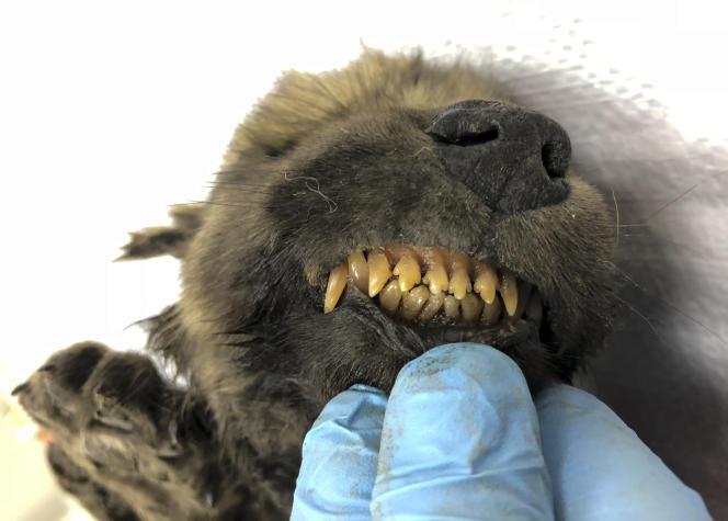 L'animal a conservé son pelage et ses dents de lait.