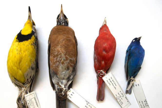 Les oiseaux récupérés, morts, dans le centre-ville de Chicago ont été étudiésau Field Museum.