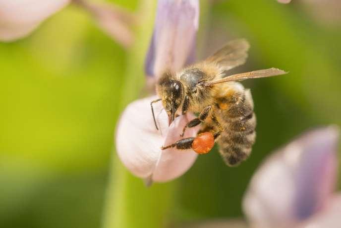 Une abeille photographiée à Bispgarden, enSuède.