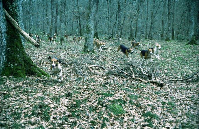 Meute de chiens sur la piste d'une proie en pleine chasse à courre, forêt de Tronçais, janvier 2007.