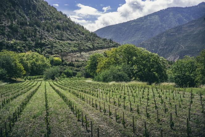 Les vignes ont été plantées sur les contreforts de l'Himalaya,dans la province du Yunnan.