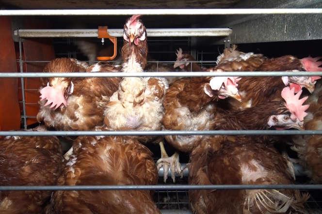Des poules en batterie dans un élevage de Vendée, sur une photo diffusée par l'association L214, en 2017.