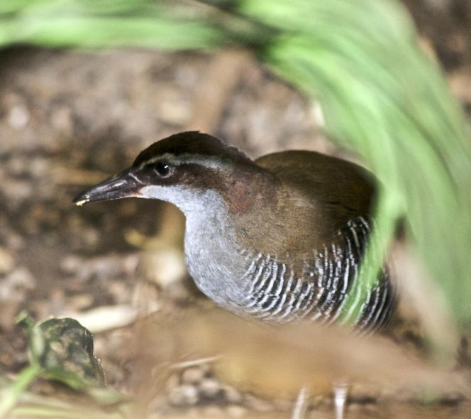 Le râle de Guam, endémique d'Océanie, est le deuxième oiseau de l'histoire à se rétablir après avoir été déclaré « éteint dans la nature ».