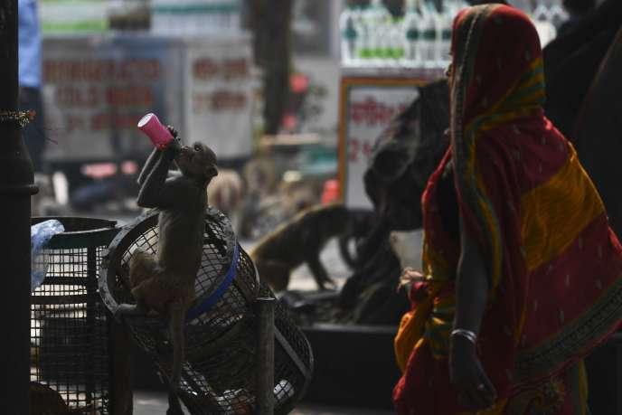 Un singe de la famille du macaque rhésus à New Delhi, le 11 novembre.