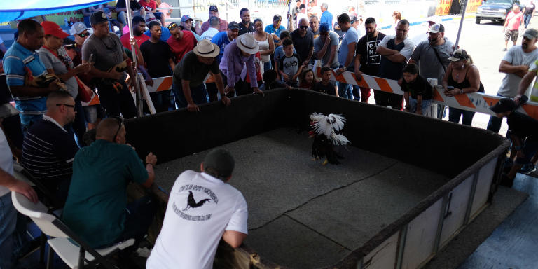 Spectators watch gamecocks battle during a cockfighting festival in Vega Baja, Puerto Rico on October 27, 2019. (Photo by Ricardo ARDUENGO / AFP)