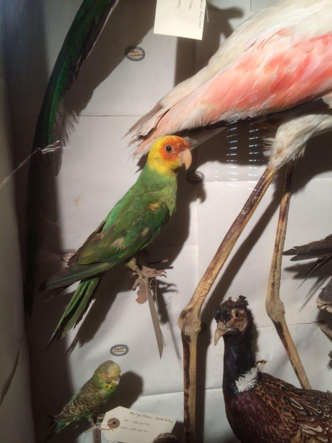 Le specimen naturalisé de perroquet de Caroline, dans la collection de Maria Masferrer.