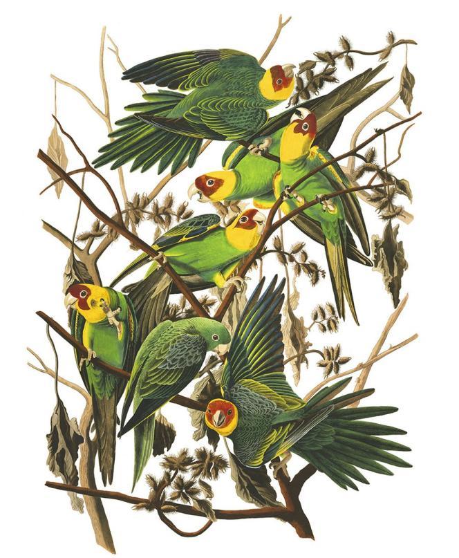 Un groupe de perroquet de Caroline, peint par John-James Audubon.