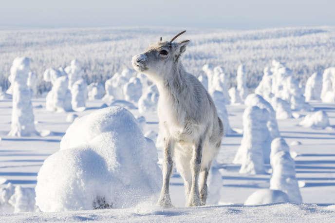 Aïlo, le petit renne, héros du film «Aïlo : une odyssée en Laponie», deGuillaume Maidatchevsky.
