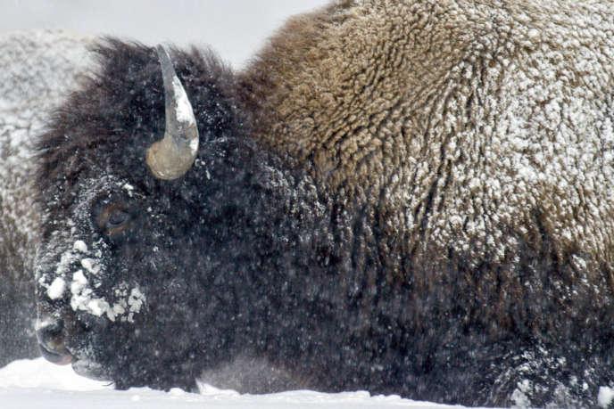 L'un des bisons de Yellowstone, parc naturel aux Etats-Unis.