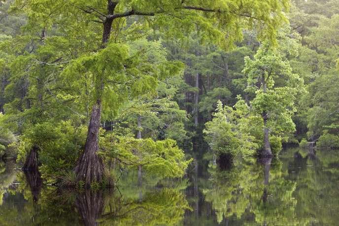 Dans un marais de Caroline du Nord (Etats-Unis).