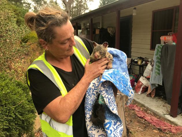 Opération de sauvetage des koalas par une ONG environnementale, à Blue Mountains, le 29 décembre.