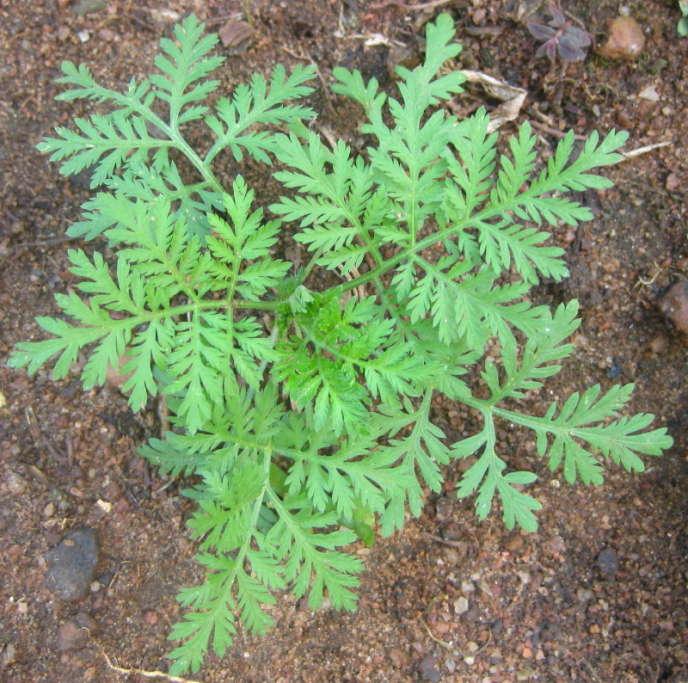 L'artémisinine est le produit d'une plante, l'armoise,ou Artemisia annua, utilisée en médecine traditionnelle chinoise.