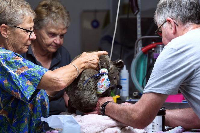 Sauvé des feux, un koala déshydraté et blessé reçoit des soins à l'hôpital de Port Macquarie, le2novembre2019.