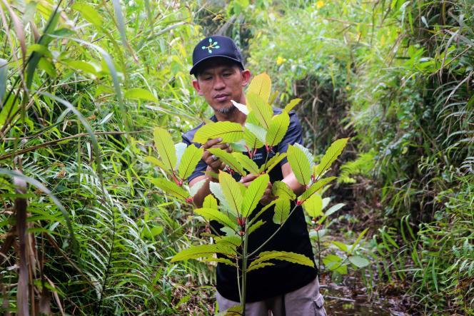 Le kratom est une plante originaire d'Asie du Sud-Est, dont les feuilles sont machées, consommées en infusion ou ingérées sous forme de poudre.