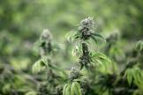 Une ferme de culture de cannabis à Las Vegas (Nevada, Etats-Unis).
