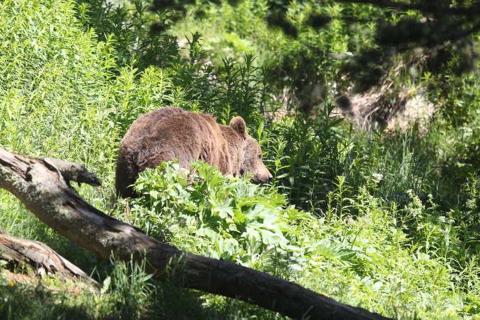 En France, l'ours brun est protégé par un arrêté interministériel du 17avril1981 fixant la liste des mammifères bénéficiant d'une mesure de protection