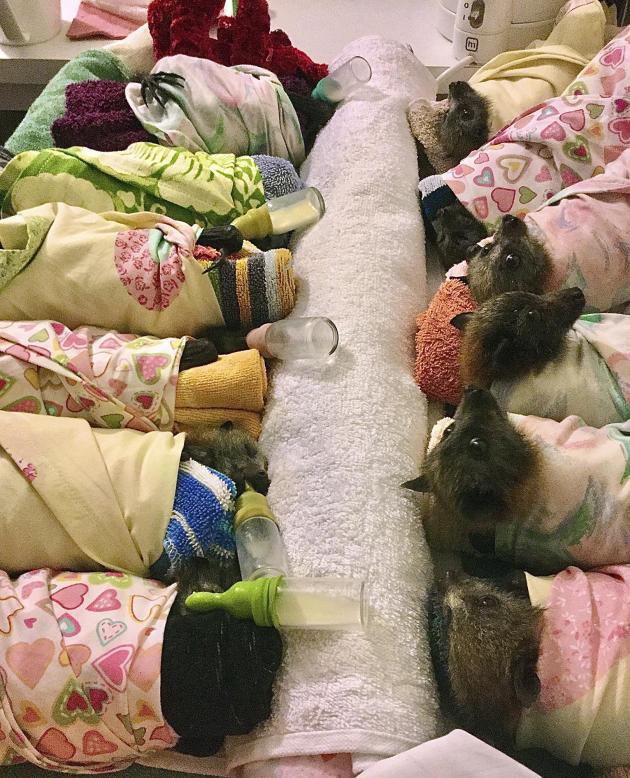 Une habitante d'Uralla, Jackie Maisey, s'occupe dechauves-souris rescapées.