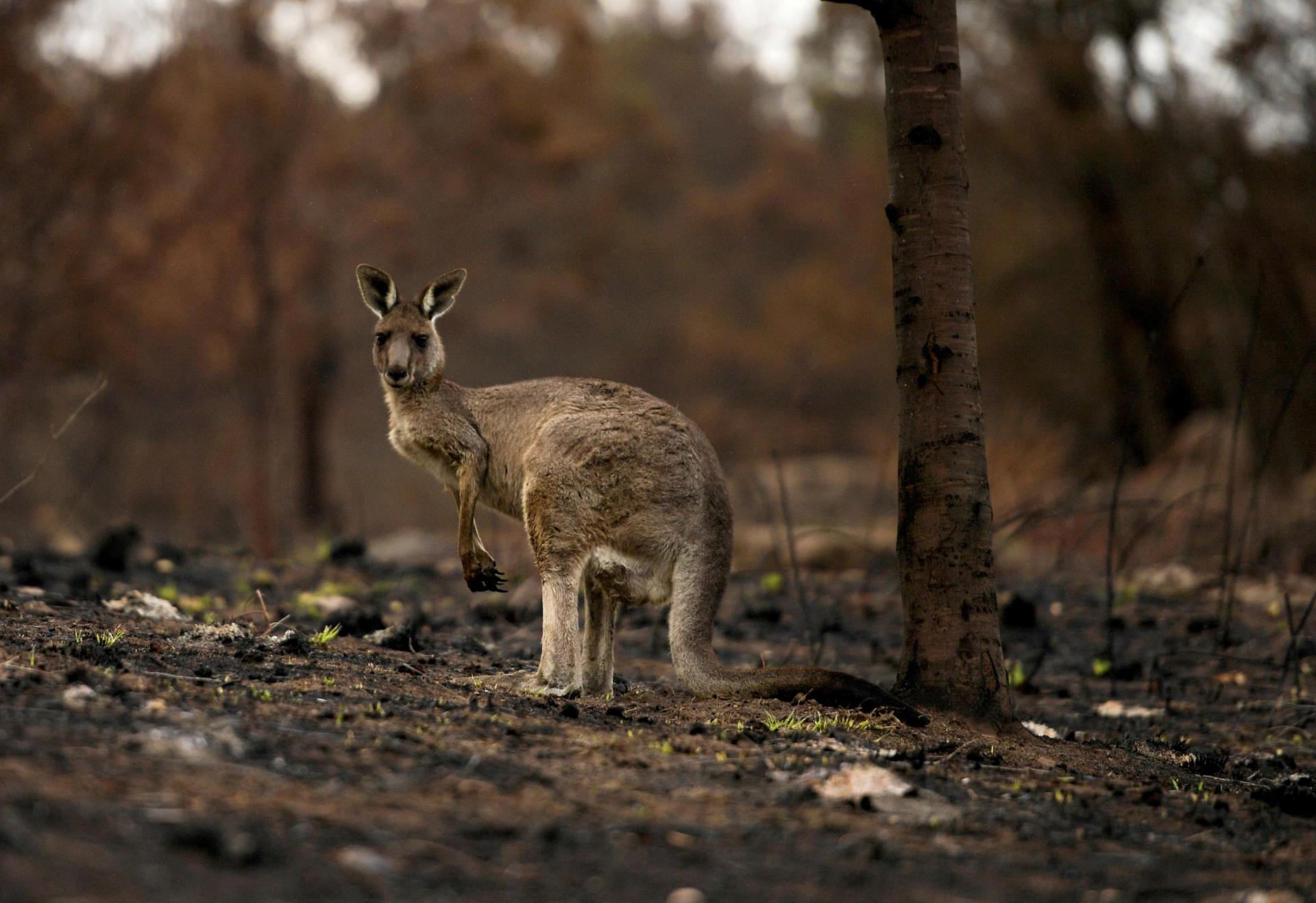 Un kangourou blessé avec un bébé dans sa poche, le 9janvier, à Cobargo.