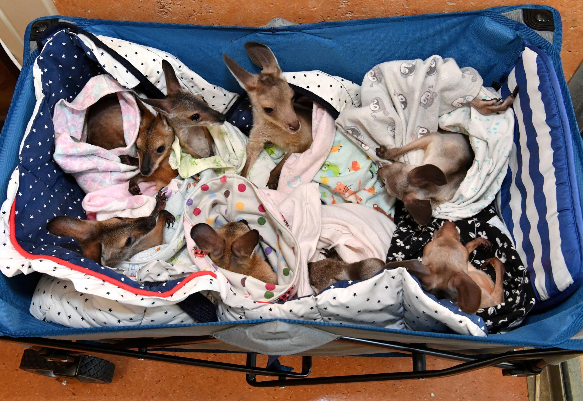De jeunes kangourous et wallabys rescapés, à la clinique zoologique de Beerwah, dans le Queensland, le 15janvier.