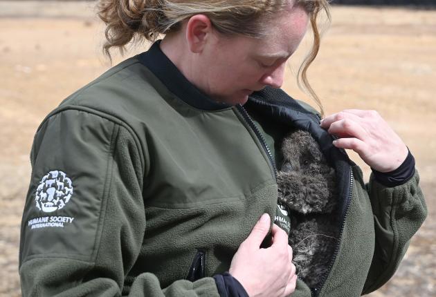 Kelly Donithan, de Humane Society International, avec un bébé koala secouru sur l'île Kangourou, le 15janvier.