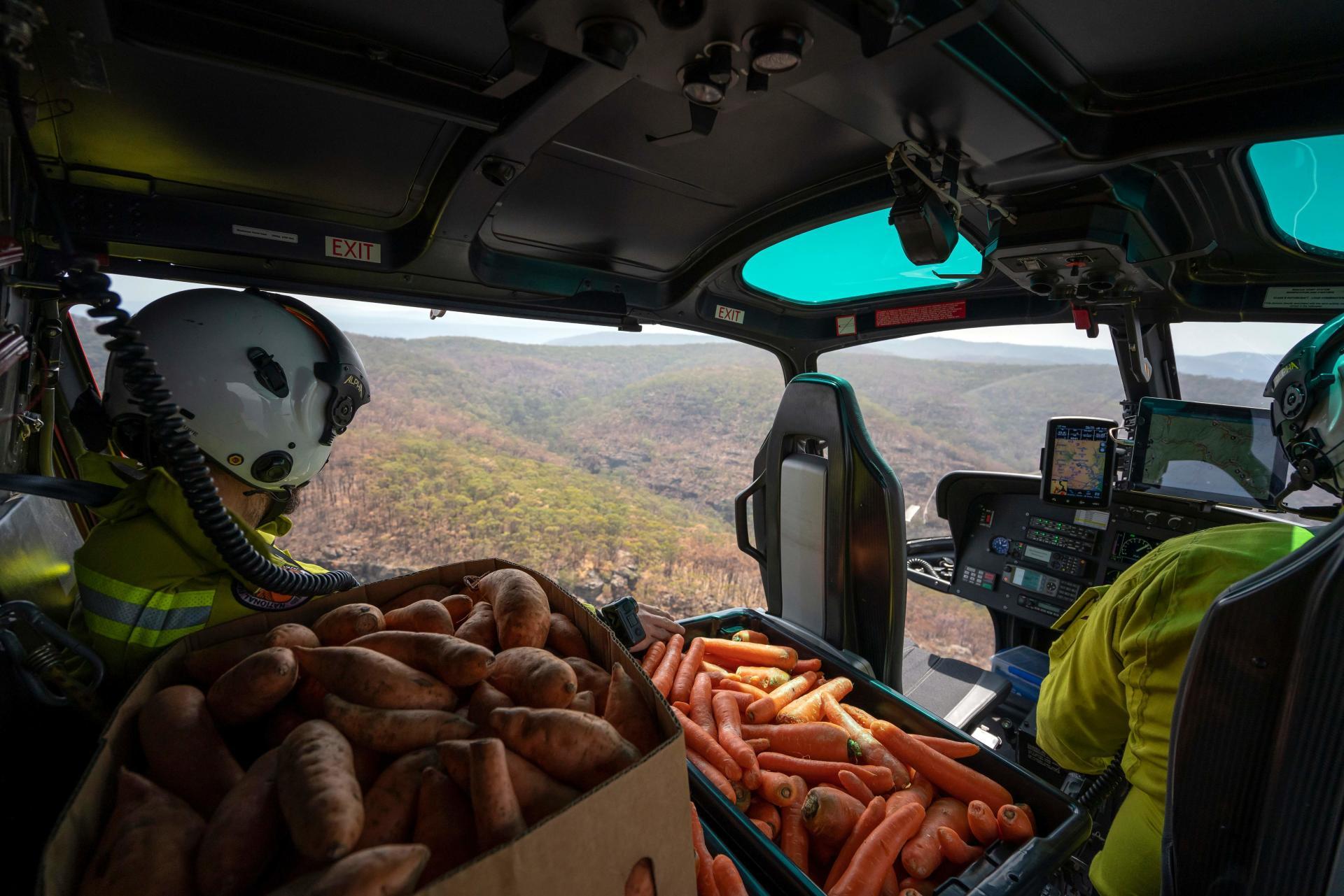 Les rangers espèrent que les wallabys rescapés trouveront les carottes et les patates douces qu'ils disposent à leur attention, dans des endroits protégés.