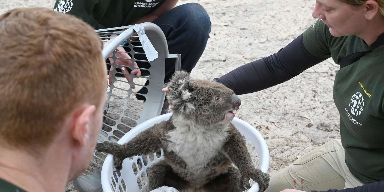 Humane Society International Crisis Response Specialist, Kelly Donithan (R) checks an injured Koala she just rescued on Kangaroo Island on January 15, 2020.  On an island famed as Australia's