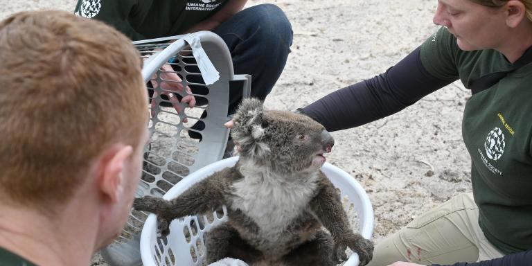 Humane Society International Crisis Response Specialist, Kelly Donithan (R) checks an injured Koala she just rescued on Kangaroo Island on January 15, 2020.  On an island famed as Australia's