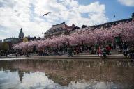 En 2019, les cerisiers étaient en fleurs au mois d'avril, à Stockholm.