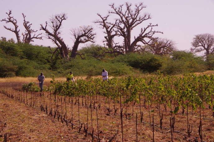 François Normant et Philippe Franchois, les deux fondateurs du Clos des baobabs, et Abdoulaye Ndiaye, chef de culture, taillent les vignes du domaine à Nguékhokh, au sud-est de Dakar, lundi 13 janvier 2020.