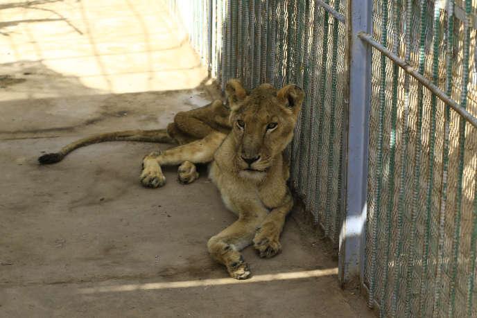Dans le parc zoologique de Khartoum, une lionne famélique, le 19 janvier 2020.