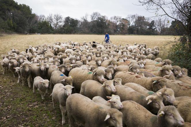 Le troupeau de moutons Mérinos d'Arles, de la formation «berger» de la SupAgro Montpellier, le 17 janvier.