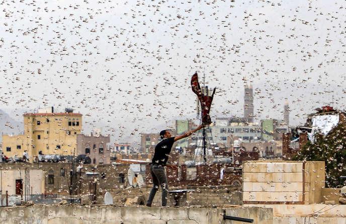 L'invasion de criquets qui touche, en Afrique de l'Est, l'Ethiopie, la Somalie et le Kenya ravage aussi les pays de la mer Rouge, dont le Yemen, ici durant l'été 2019.