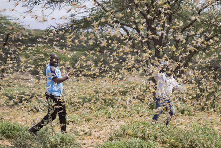 Le 16 janvier 2020, près du village de Sissia. «Le Kenya n'avait pas eu à affronter de menace acridienne d'une telle force depuis soixante-dix ans», précise la FAO.