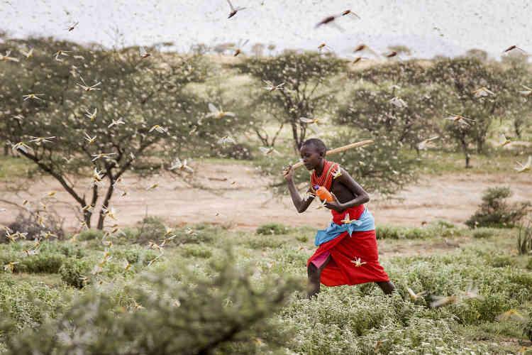 Un jeune garçon Samburu utilise un bâton pour éloigner les criquets. En janvier 2020, le Kenya est touché par une invasion sans précédent.