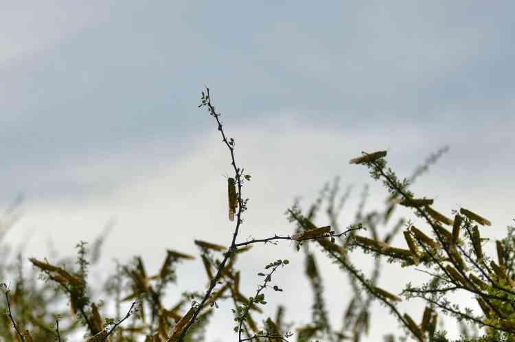 Le criquet pèlerin dévore chaque jour l'équivalent de son propre poids, soit environ 2grammes.