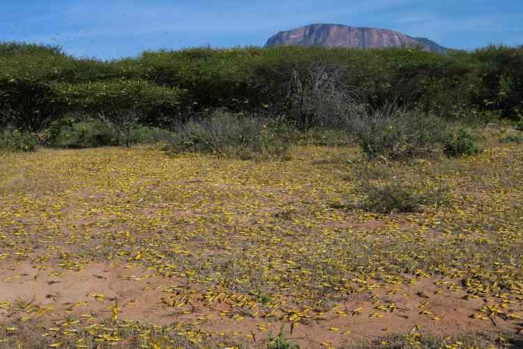 Le 22 janvier à Lerata, commune de Samburu (Kenya). «Les essaims risquent de grossir de manière exponentielle et de se propager dans d'autres pays d'Afrique de l'Est», selon la FAO