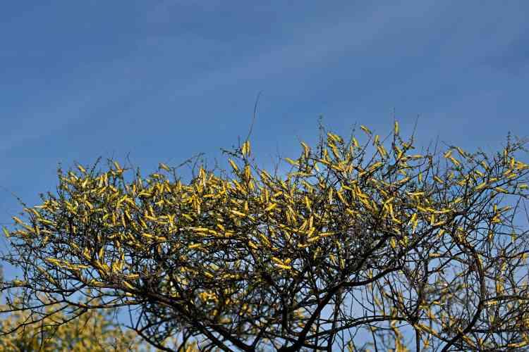 Les criquets pélerins ravagent les cultures et menacent les récoltes vivrières.