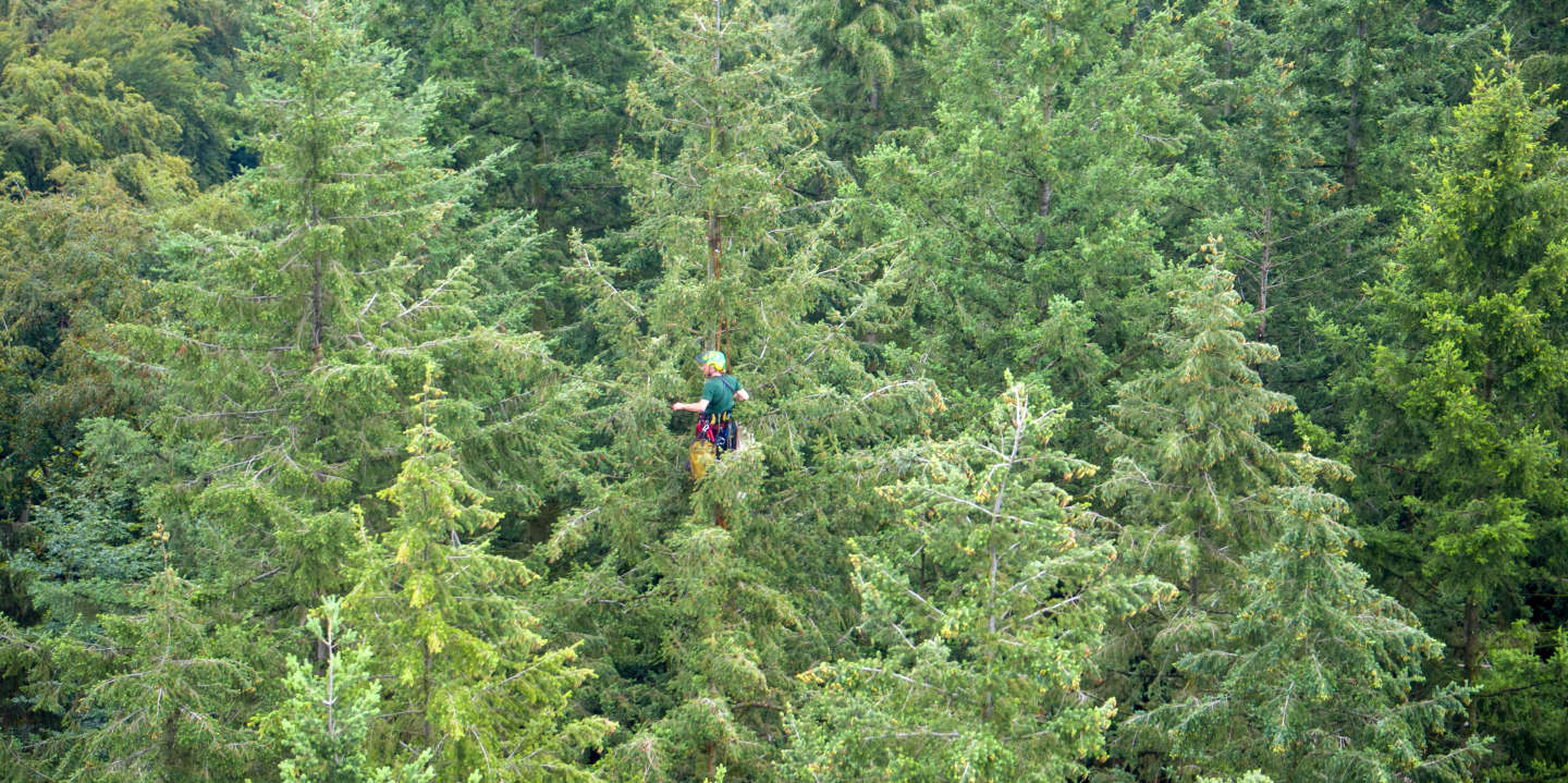 31 July 2019, Mecklenburg-Western Pomerania, Raben Steinfeld: A cone picker hangs about 40 metres above the top of a Douglas fir tree and collects cones for seed production. The five rope-secured special climbers from a company in Lower Saxony harvest the genetically valuable cones from 12 to 15 trees every day. The cones are later cleaned in a kiln, dried and the seed is released. The seeds obtained are used to grow young trees, which are urgently needed for the reforestation of forests damaged by drought. Photo: Jens Büttner/dpa-Zentralbild/dpa