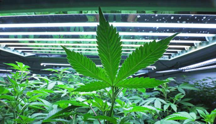 Du cannabis dans une serre, à Fairbanks, en Alaska.