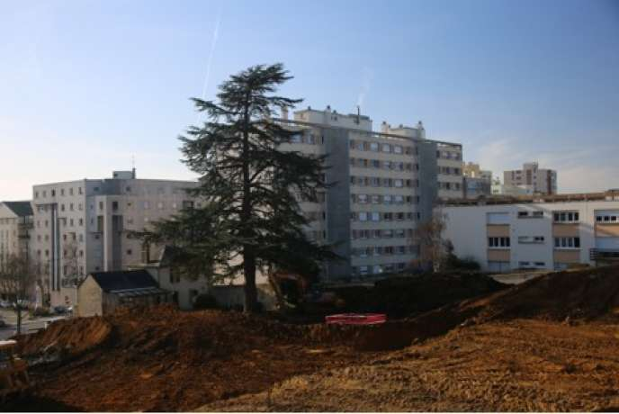 Au Mans, avenue Bollée, un projet immobilier menace un cèdre bleu du Liban haut de 30 mètres.