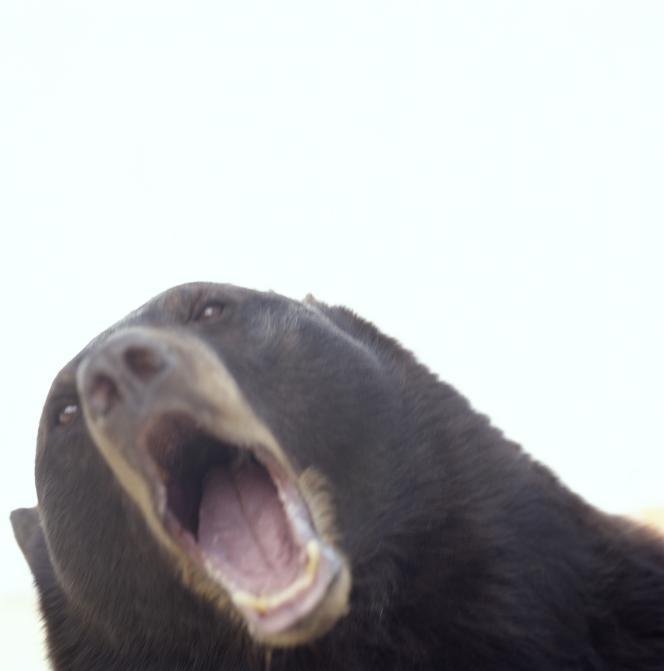 Ursus americanus.