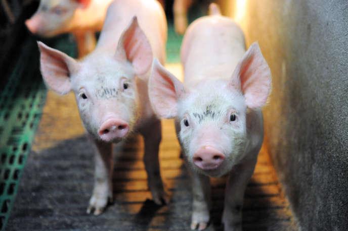 La castration des porcelets permet d'obtenir des porcs plus gras, tout en évitant l'odeur nauséabonde de verrat que peut dégager à la cuisson le gras de certains mâles « entiers ».