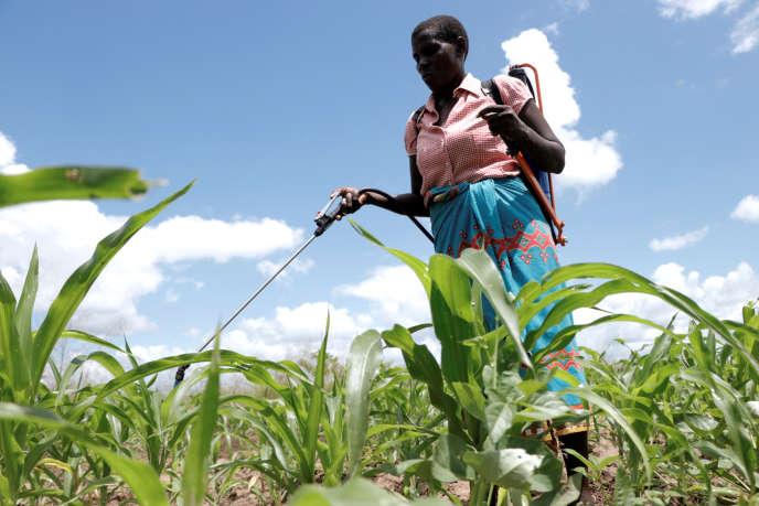 Epandage de pesticides dans un champ de maïs à Chikwawa (Malawi), en mars 2018.