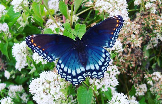 """Común en los Estados Unidos, la mariposa del almirante """"Limenitis arthemis"""" está adaptada a climas templados."""