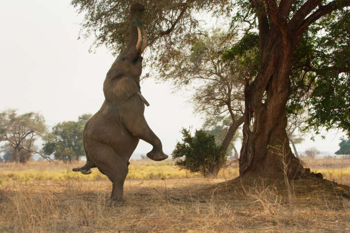 Un éléphant à la recherche de nourriture au Zimbabwe (Afrique).