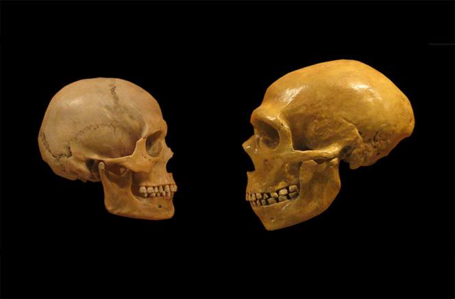 Crânes de «sapiens» (à gauche)et de Néandertalien (à droite), exposés pour comparaison au Musée d'histoire naturelle de Cleveland (Ohio).
