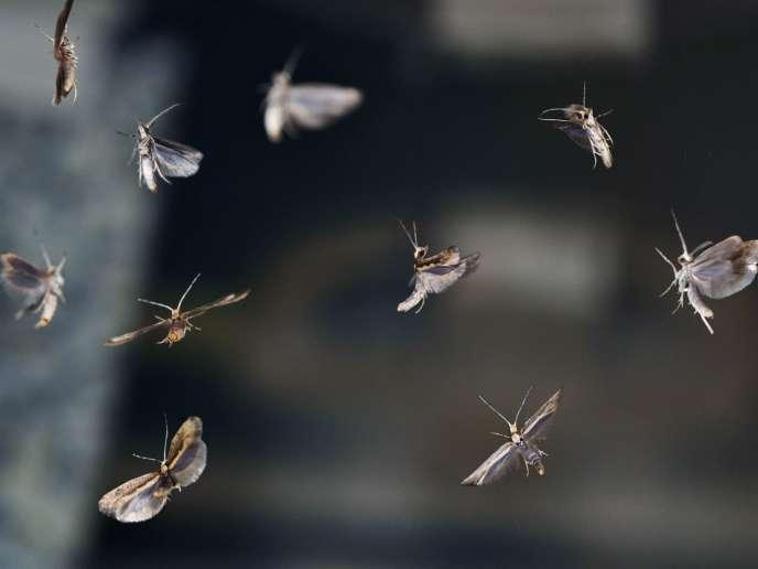 Des teignes de choux («Plutella xylostella») dans les laboratoires d'Oxitec.