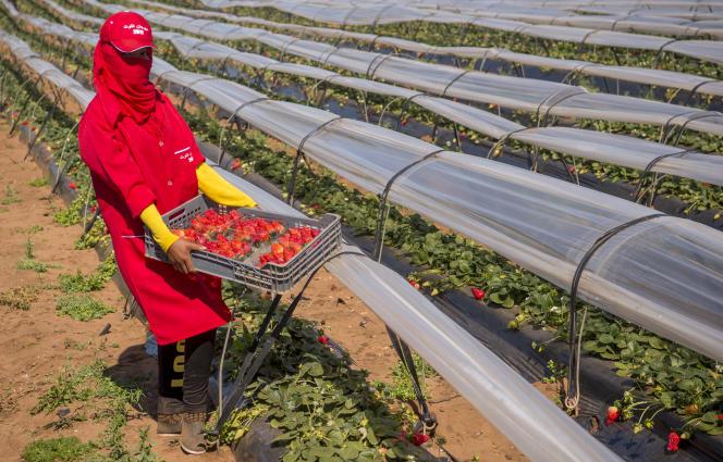 Récolte de fraises dans la province de Kénitra, au Maroc, en 2017.