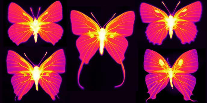 Les parties vivantes des ailes (veines des ailes et organes androconiaux) ont une émissivité thermique élevée (image infrarouge).